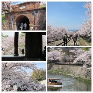 2013年 京都桜.jpg